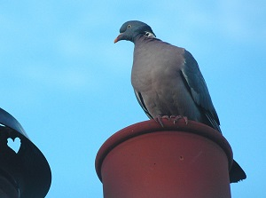 Pigeon basking in warmth from chimney pot
