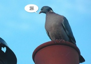 Pigeon on chimney pot
