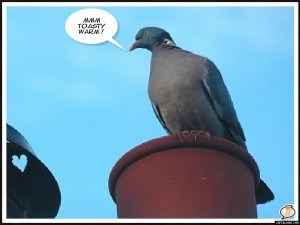"Pigeon on chimney pot ""mmmfree heat"""